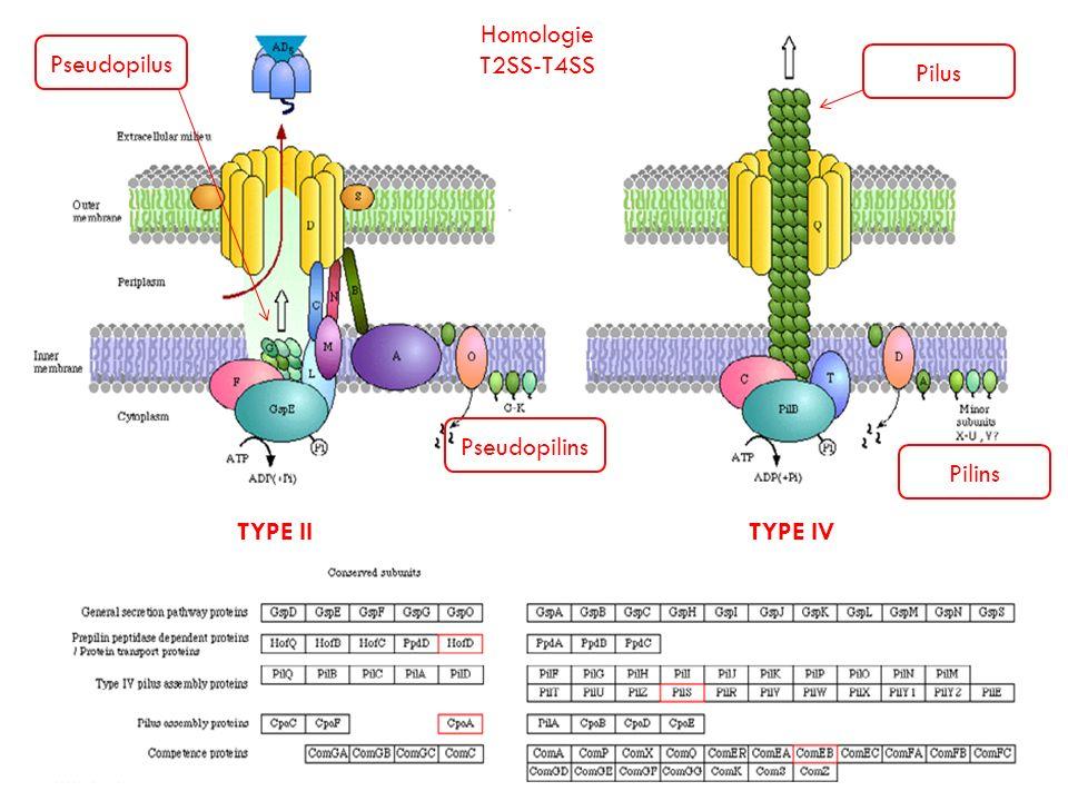 TYPE IITYPE IV Homologie T2SS-T4SS Pseudopilus Pilus Pseudopilins Pilins