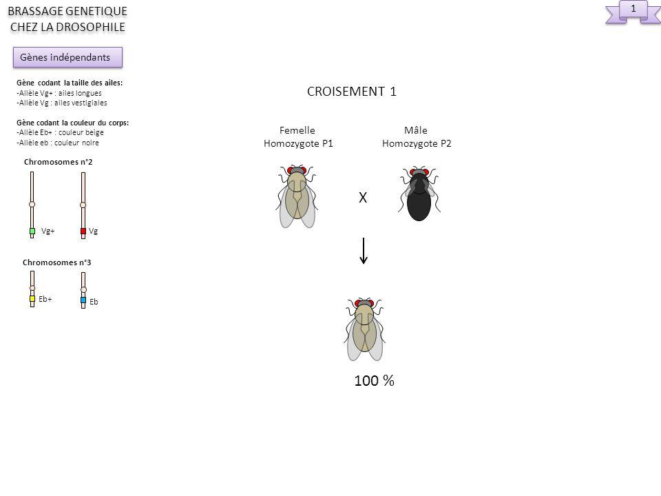 2 2 X Femelle Hétérozygote F1 Mâle Homozygote P2 CROISEMENT 2 25% 25% Gènes indépendants BRASSAGE GENETIQUE CHEZ LA DROSOPHILE Gène codant la taille des ailes: -Allèle Vg+ : ailes longues -Allèle Vg : ailes vestigiales Gène codant la couleur du corps: -Allèle Eb+ : couleur beige -Allèle eb : couleur noire Chromosomes n°2 Vg+ Vg Chromosomes n°3 Eb+ Eb