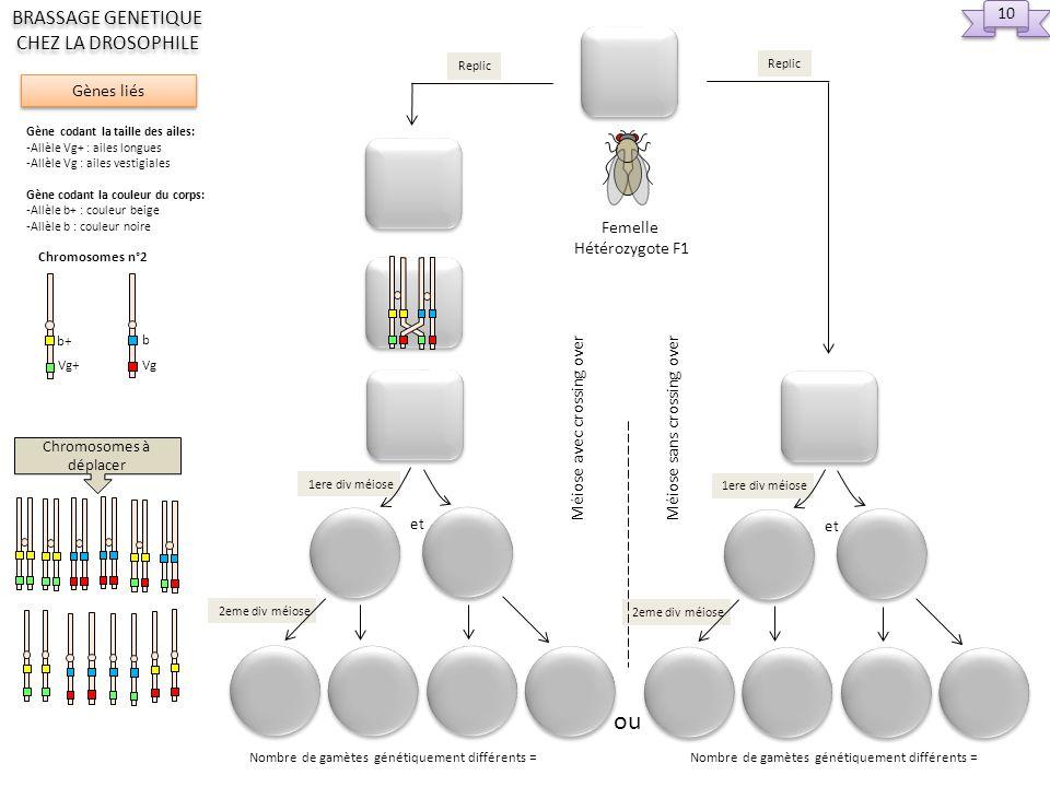 Replic 2eme div méiose et 1ere div méiose ou Replic Nombre de gamètes génétiquement différents = Femelle Hétérozygote F1 Méiose avec crossing over Méi