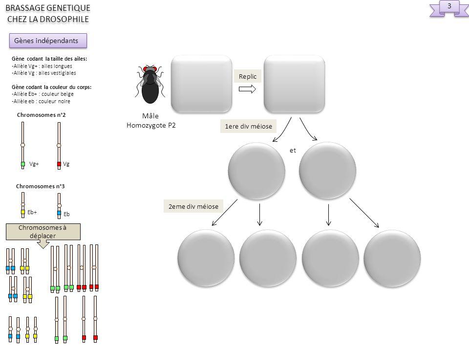 2eme div Replic et ou 1ere div ou Femelle Hétérozygote F1 Chromosomes à déplacer 4 4 Gènes indépendants BRASSAGE GENETIQUE CHEZ LA DROSOPHILE Gène codant la taille des ailes: -Allèle Vg+ : ailes longues -Allèle Vg : ailes vestigiales Gène codant la couleur du corps: -Allèle Eb+ : couleur beige -Allèle eb : couleur noire Chromosomes n°2 Vg+ Vg Chromosomes n°3 Eb+ Eb