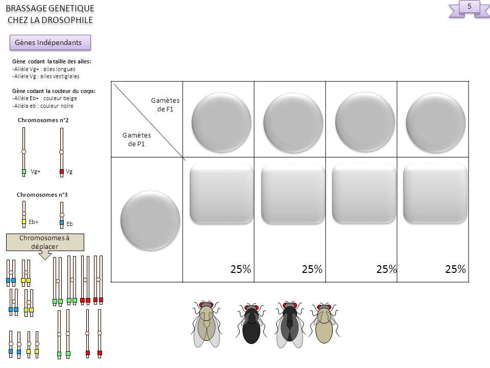Gamètes de F1 Gamètes de P1 Chromosomes à déplacer 5 5 25% 25% Gènes indépendants BRASSAGE GENETIQUE CHEZ LA DROSOPHILE Gène codant la taille des aile