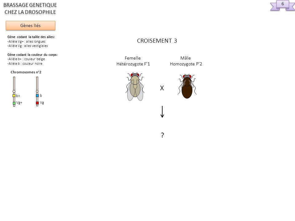 Femelle Hétérozygote F1 2eme div méiose Replic et 1ere div méiose Chromosomes à déplacer 7 7 Gènes liés BRASSAGE GENETIQUE CHEZ LA DROSOPHILE Gène codant la taille des ailes: -Allèle Vg+ : ailes longues -Allèle Vg : ailes vestigiales Gène codant la couleur du corps: -Allèle b+ : couleur beige -Allèle b : couleur noire Chromosomes n°2 Vg+ b+ Vg b