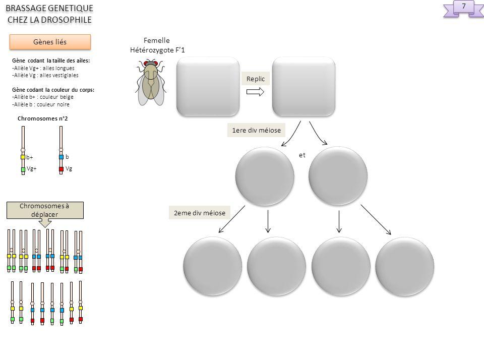 Femelle Hétérozygote F1 Mâle Homozygote P2 Génotypes et phénotypes parentaux Gamètes possibles Descendance possible Chromosomes à déplacer 8 8 Gènes liés BRASSAGE GENETIQUE CHEZ LA DROSOPHILE Gène codant la taille des ailes: -Allèle Vg+ : ailes longues -Allèle Vg : ailes vestigiales Gène codant la couleur du corps: -Allèle b+ : couleur beige -Allèle b : couleur noire Chromosomes n°2 Vg+ b+ Vg b