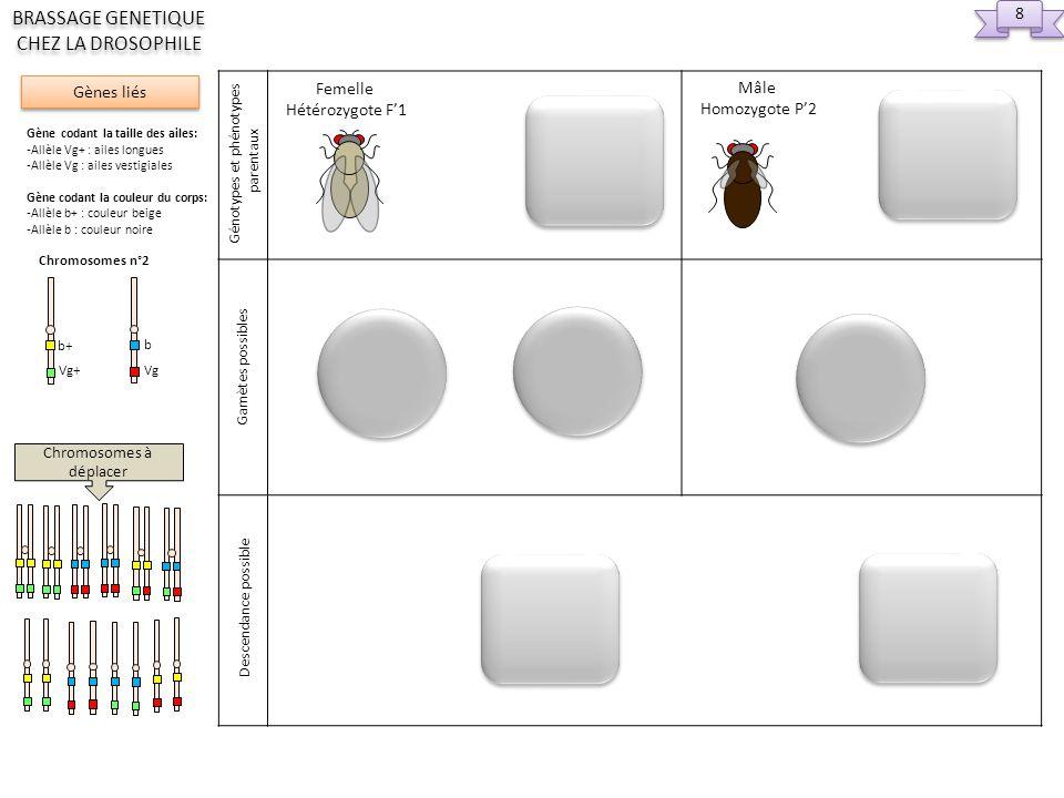 Gamètes de F1 Gamètes de P2 Chromosomes à déplacer 9 9 Gènes liés BRASSAGE GENETIQUE CHEZ LA DROSOPHILE Gène codant la taille des ailes: -Allèle Vg+ : ailes longues -Allèle Vg : ailes vestigiales Gène codant la couleur du corps: -Allèle b+ : couleur beige -Allèle b : couleur noire Chromosomes n°2 Vg+ b+ Vg b