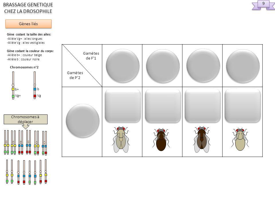 Replic 2eme div méiose et 1ere div méiose ou Replic Nombre de gamètes génétiquement différents = Femelle Hétérozygote F1 Méiose avec crossing over Méiose sans crossing over 2eme div méiose et 1ere div méiose Chromosomes à déplacer 10 Gènes liés BRASSAGE GENETIQUE CHEZ LA DROSOPHILE Gène codant la taille des ailes: -Allèle Vg+ : ailes longues -Allèle Vg : ailes vestigiales Gène codant la couleur du corps: -Allèle b+ : couleur beige -Allèle b : couleur noire Chromosomes n°2 Vg+ b+ Vg b