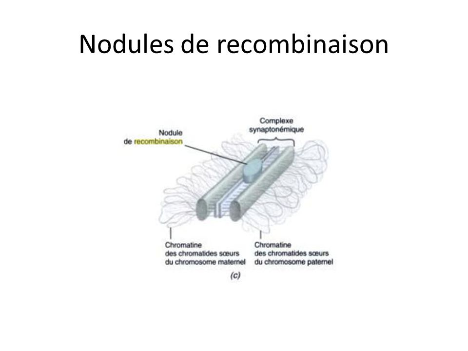 Nodules de recombinaison
