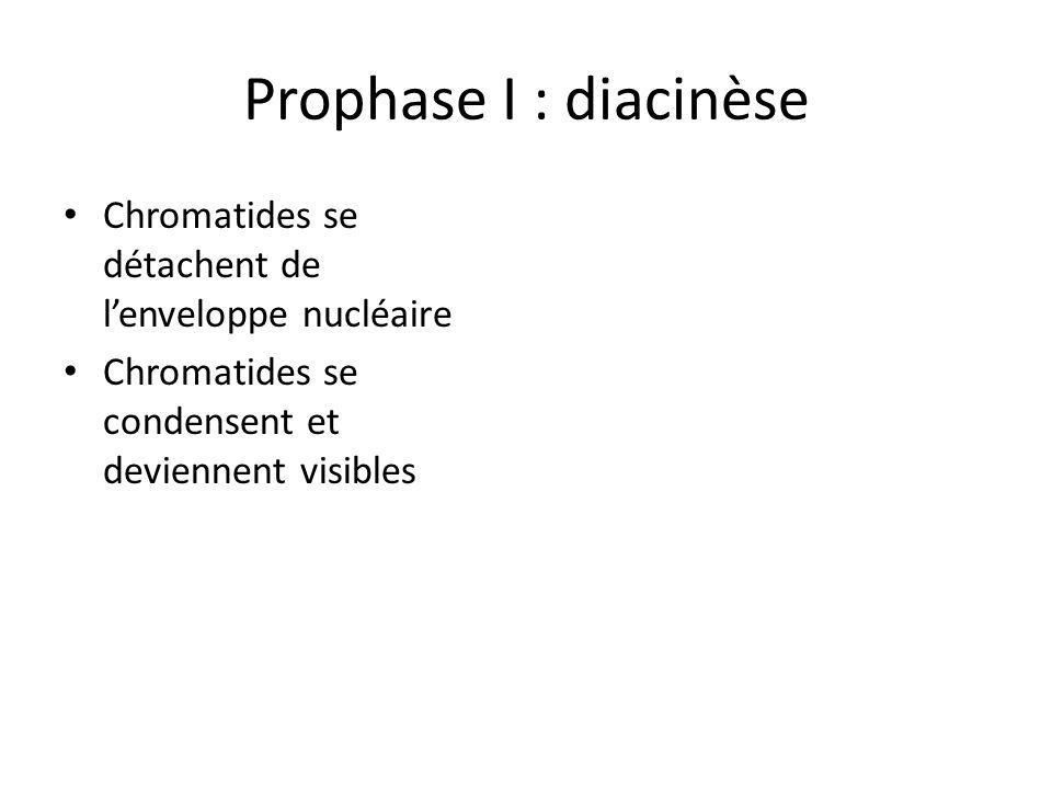 Prophase I : diacinèse Chromatides se détachent de lenveloppe nucléaire Chromatides se condensent et deviennent visibles