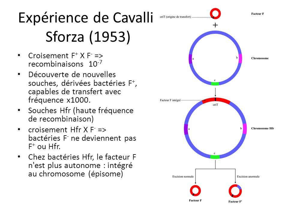 Expérience de Cavalli- Sforza (1953) Croisement F + X F - => recombinaisons 10 -7 Découverte de nouvelles souches, dérivées bactéries F +, capables de