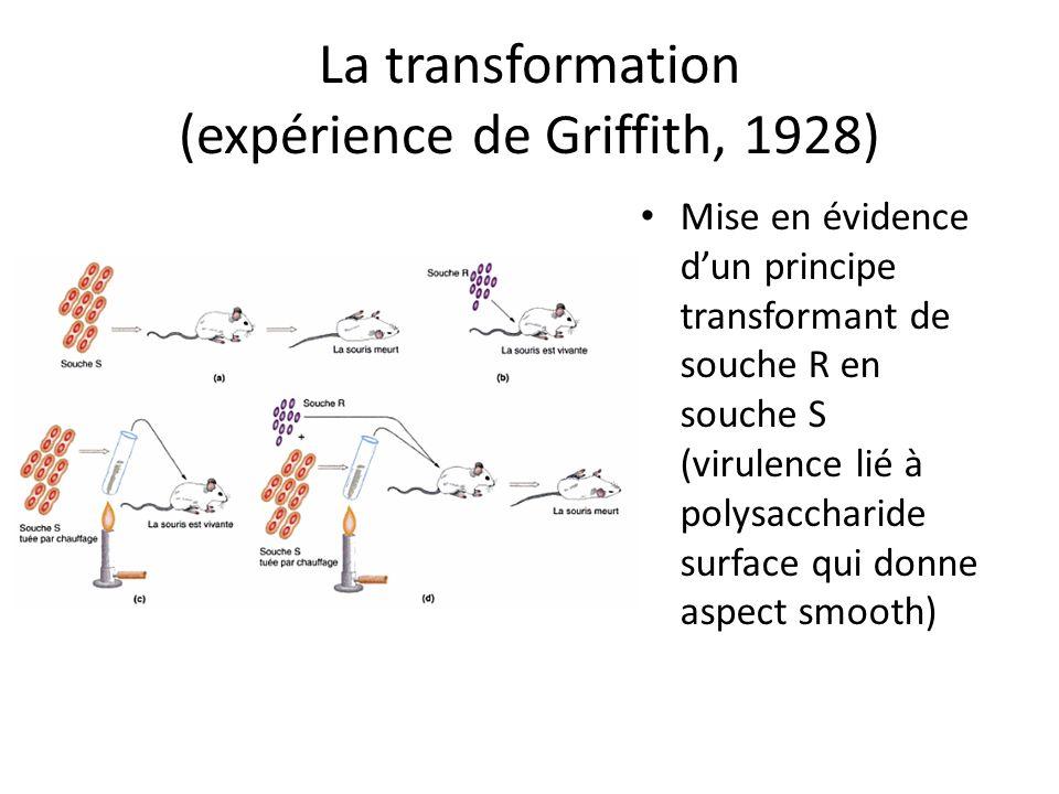 La transformation (expérience de Griffith, 1928) Mise en évidence dun principe transformant de souche R en souche S (virulence lié à polysaccharide su