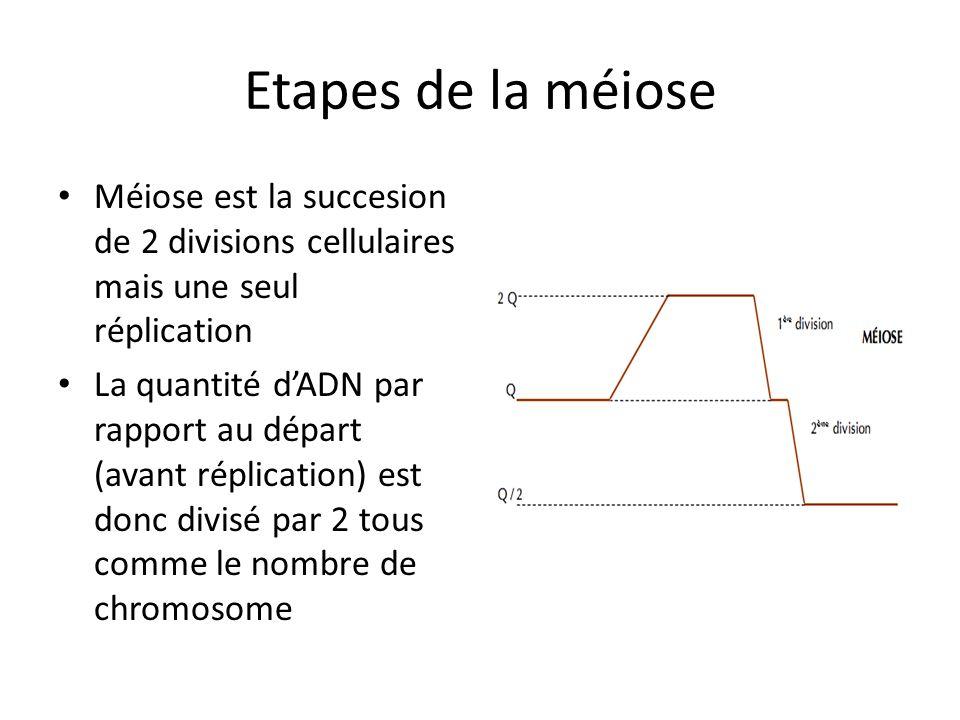 Etapes de la méiose Méiose est la succesion de 2 divisions cellulaires mais une seul réplication La quantité dADN par rapport au départ (avant réplica