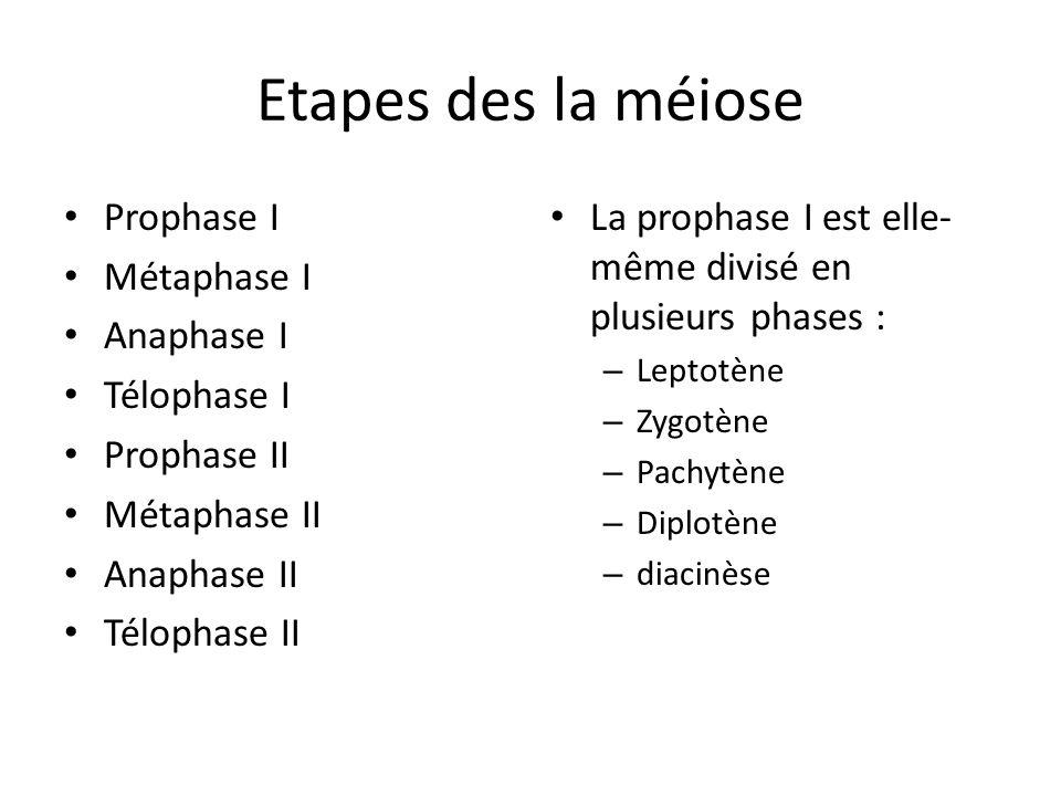 Etapes des la méiose Prophase I Métaphase I Anaphase I Télophase I Prophase II Métaphase II Anaphase II Télophase II La prophase I est elle- même divi