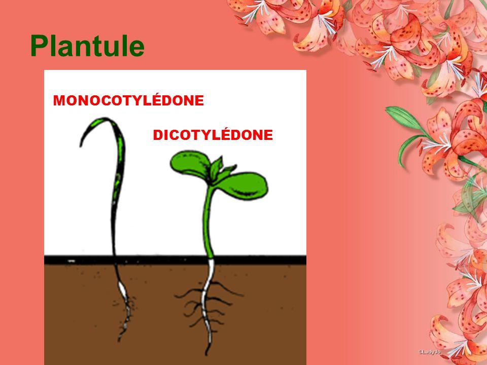 Plantule MONOCOTYLÉDONE DICOTYLÉDONE