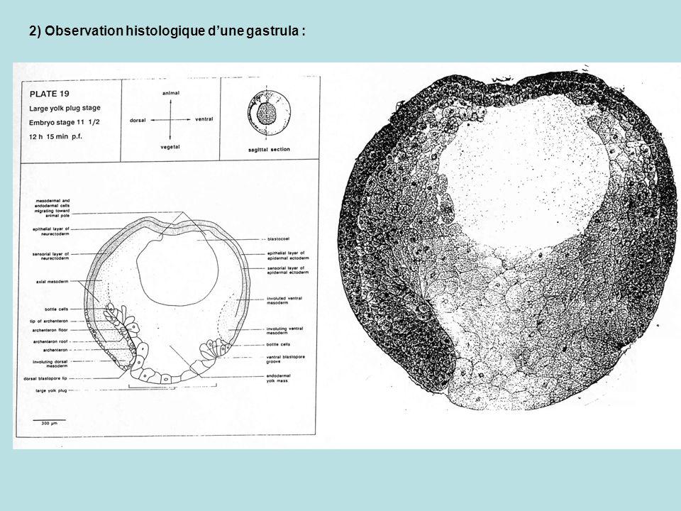 2) Observation histologique dune gastrula :