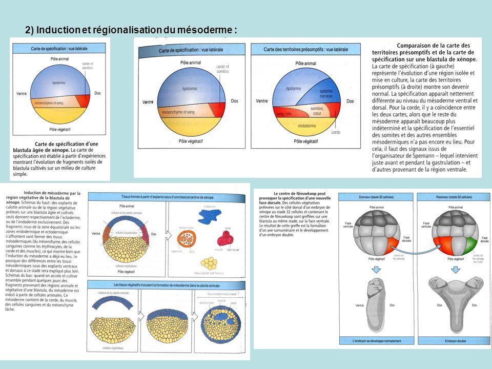 2) Induction et régionalisation du mésoderme :