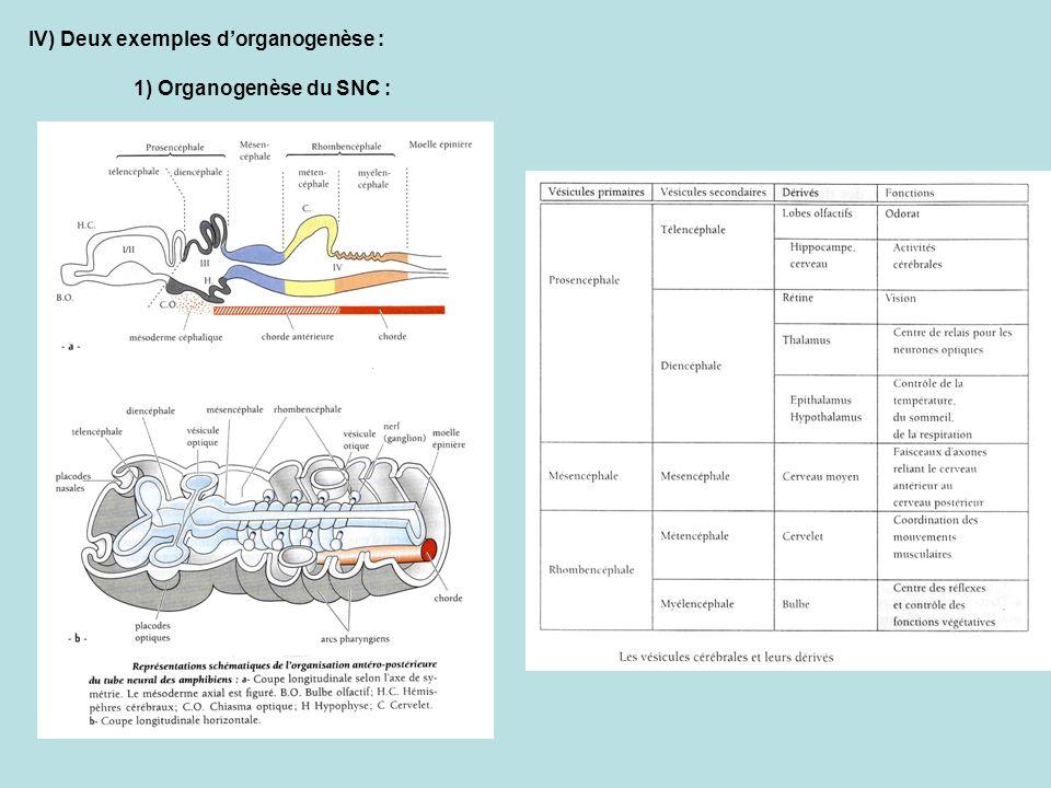 IV) Deux exemples dorganogenèse : 1) Organogenèse du SNC :