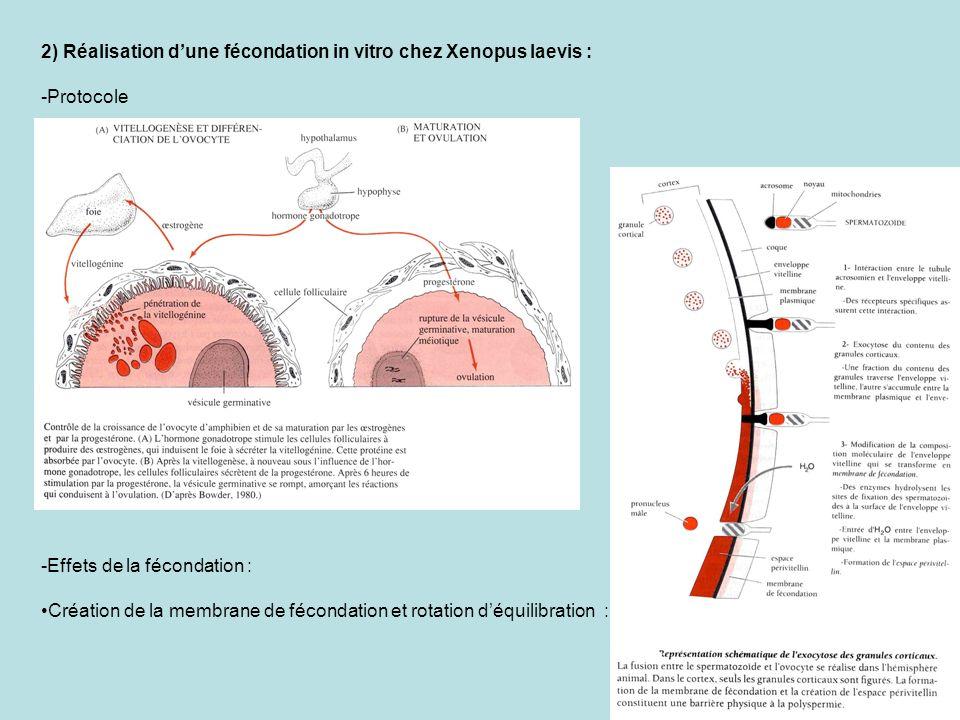 Rotation corticale : -Dégangage et élevage des embryons : -Cycle de développement : 1er clivage : 1 heure et demi après fécondation Durée de la segmentation : 8 heures Durée de la gastrulation : 10 à 12 heures Durée de la neurulation : 10 à 12 heures