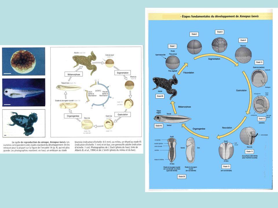 3) Observation des stades précoces du développement embryonnaire : de lovocyte fécondé à la blastula :