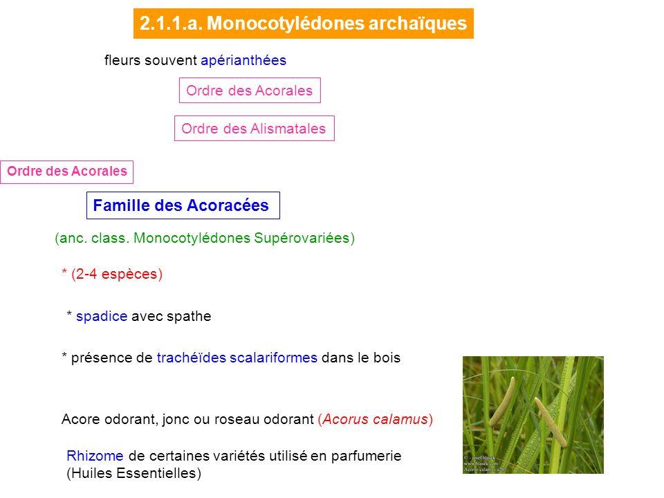 Acore odorant, jonc ou roseau odorant (Acorus calamus) Rhizome de certaines variétés utilisé en parfumerie (Huiles Essentielles) Famille des Acoracées