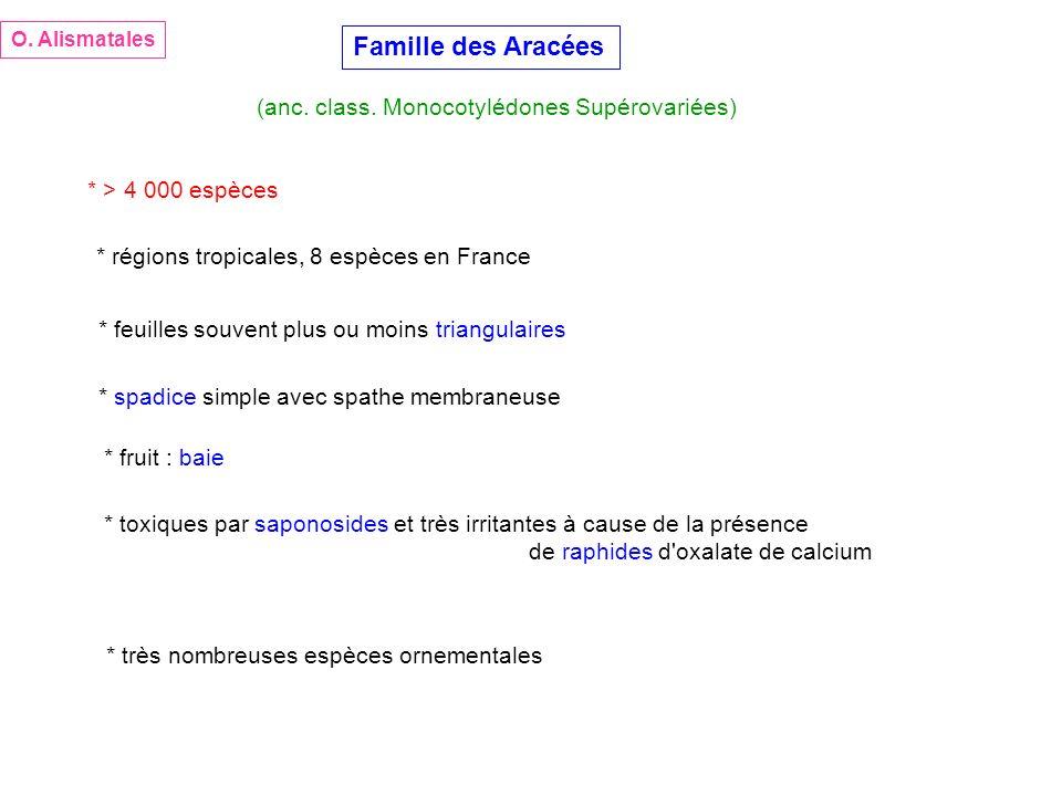 Famille des Aracées (anc. class. Monocotylédones Supérovariées) * > 4 000 espèces * régions tropicales, 8 espèces en France * très nombreuses espèces