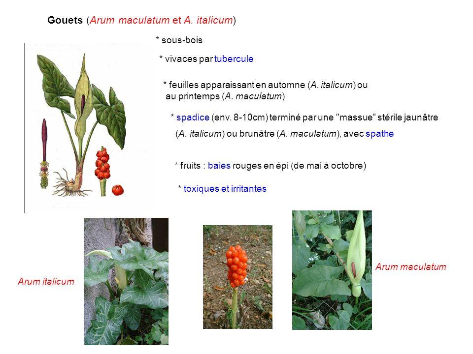 Gouets (Arum maculatum et A. italicum) * sous-bois * feuilles apparaissant en automne (A. italicum) ou au printemps (A. maculatum) * vivaces par tuber