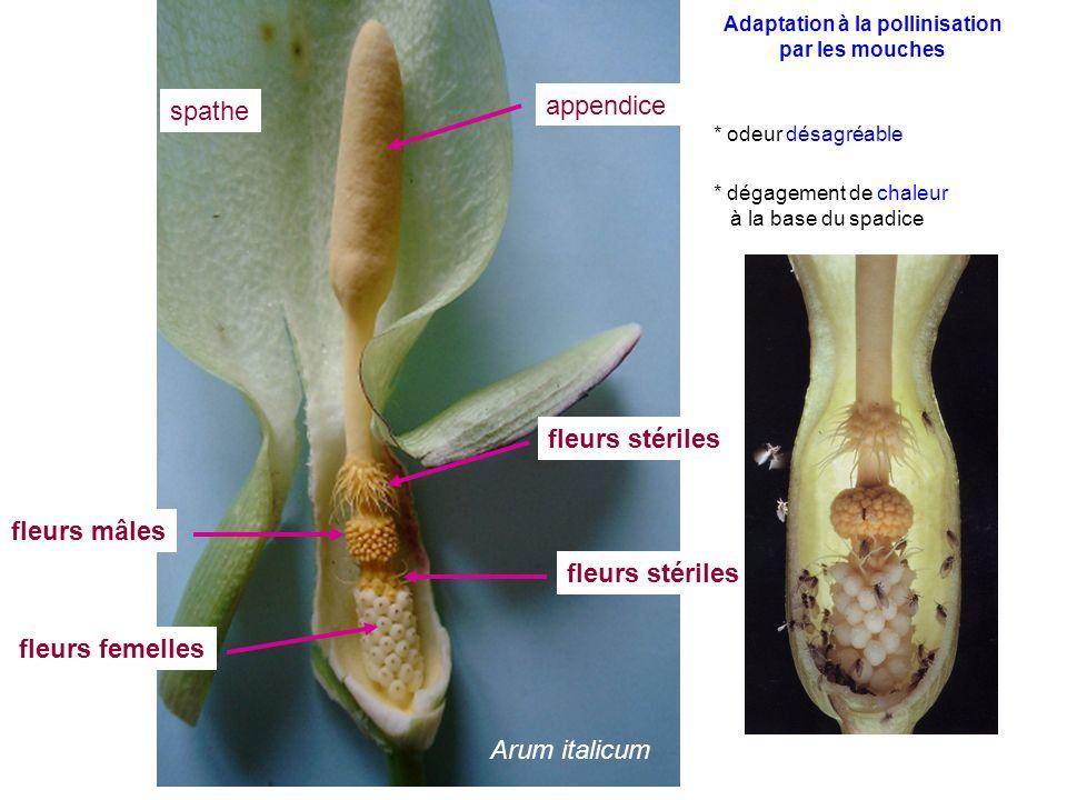 Arum italicum fleurs stériles fleurs femelles fleurs mâles spathe appendice Adaptation à la pollinisation par les mouches * odeur désagréable * dégage