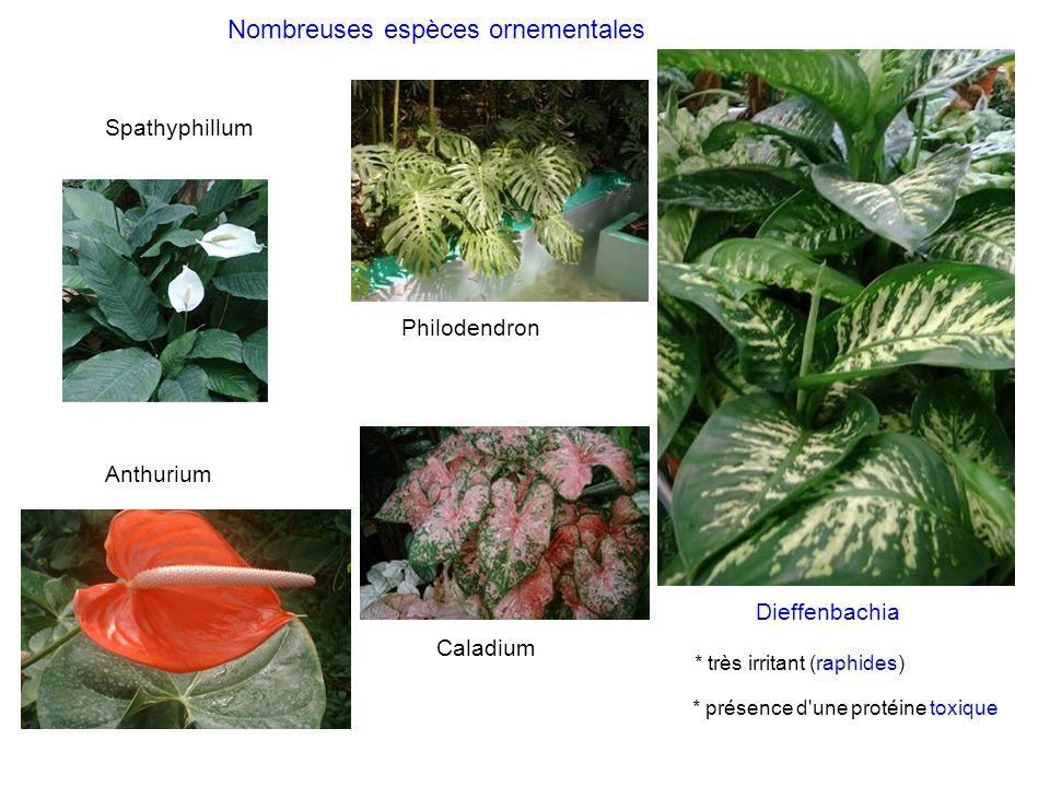 Caladium Anthurium Spathyphillum Dieffenbachia * très irritant (raphides) * présence d'une protéine toxique Nombreuses espèces ornementales Philodendr