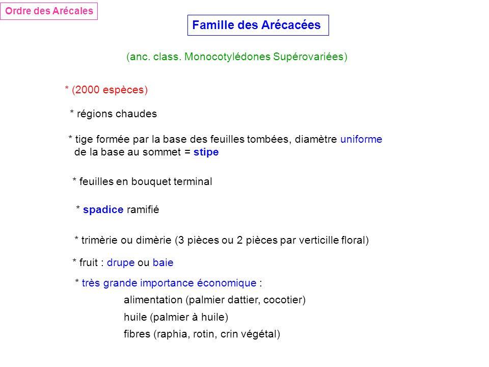 Famille des Arécacées * (2000 espèces) (anc. class. Monocotylédones Supérovariées) * tige formée par la base des feuilles tombées, diamètre uniforme d