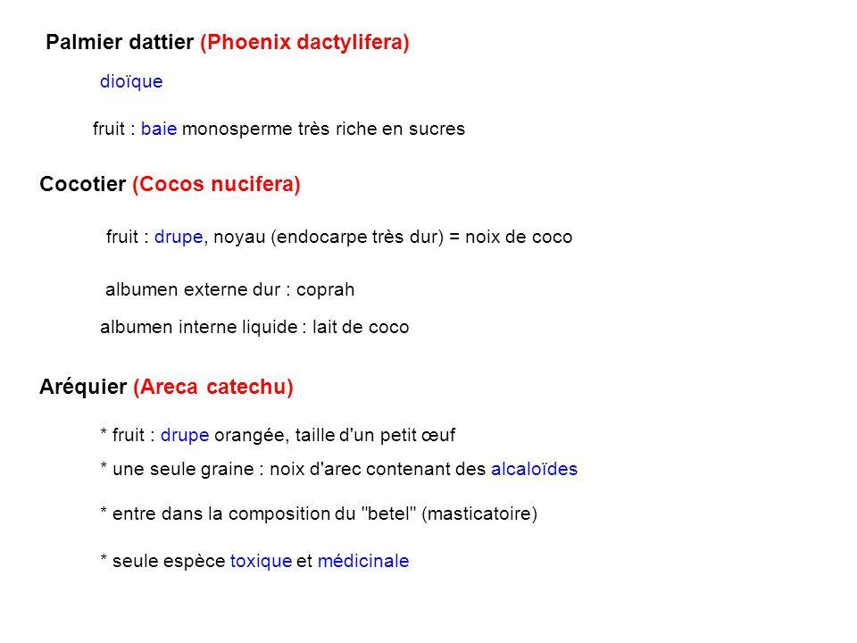 Palmier dattier (Phoenix dactylifera) fruit : baie monosperme très riche en sucres Cocotier (Cocos nucifera) fruit : drupe, noyau (endocarpe très dur)