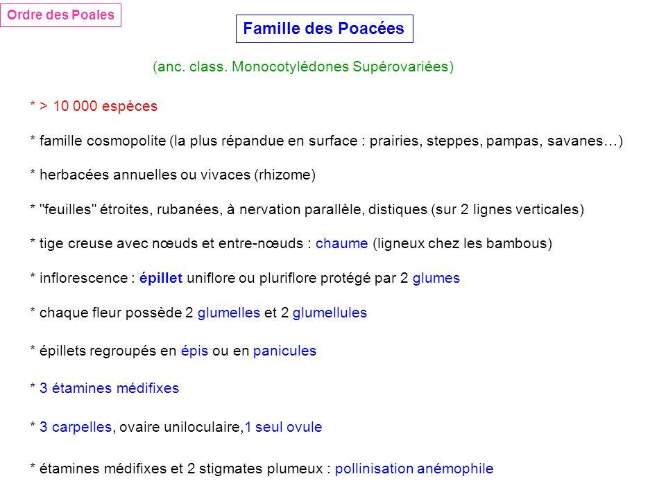 Famille des Poacées (anc. class. Monocotylédones Supérovariées) * > 10 000 espèces * herbacées annuelles ou vivaces (rhizome) * tige creuse avec nœuds