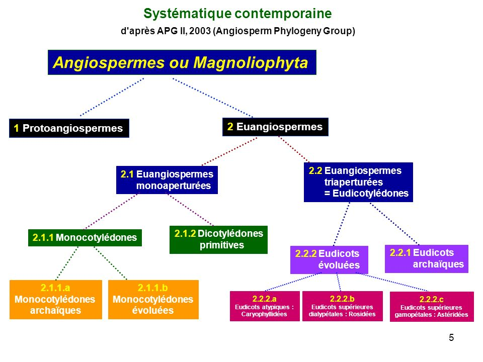 5 Systématique contemporaine d'après APG II, 2003 (Angiosperm Phylogeny Group) Angiospermes ou Magnoliophyta 1 Protoangiospermes 2 Euangiospermes 2.1