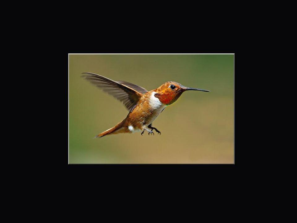 Les colibris habitent exclusivement les Amériques. Ils sont absents de l'Europe et de l'Asie. On les retrouve à partir de la Terre de Feu jusqu'aux ab