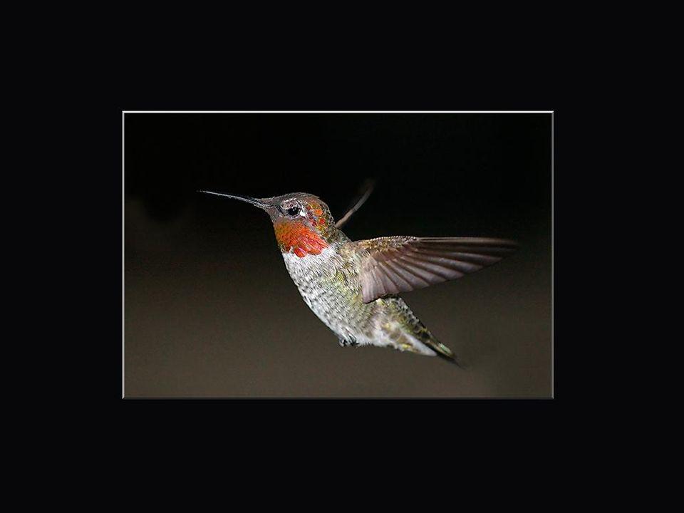 L'homme reste la plus dangereuse menace pour les colibris. À la fin du 19e siècle, des centaines de milliers de colibris ont été tués pour leur plumag