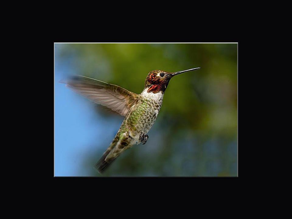 Dans les jardins, au moment de la période de floraison, c'est par dizaines que l'on peut voir les colibris ou