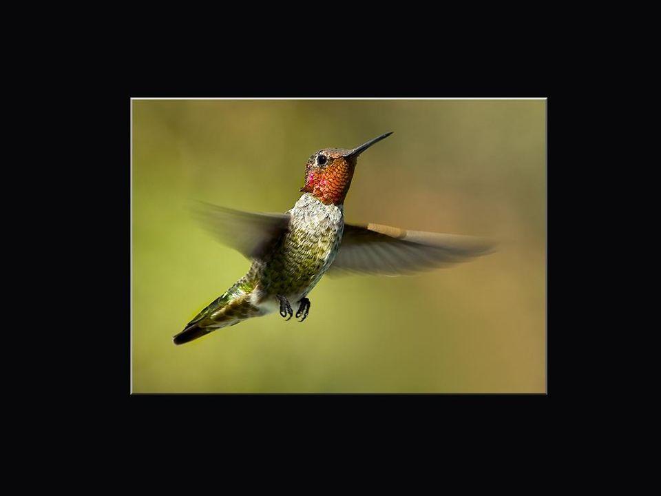 Leurs nids sont très artistiques et leurs oeufs sont évidemment minuscules; typiquement 10 mm. Les colibris peuplent les milieux les plus variés; dans