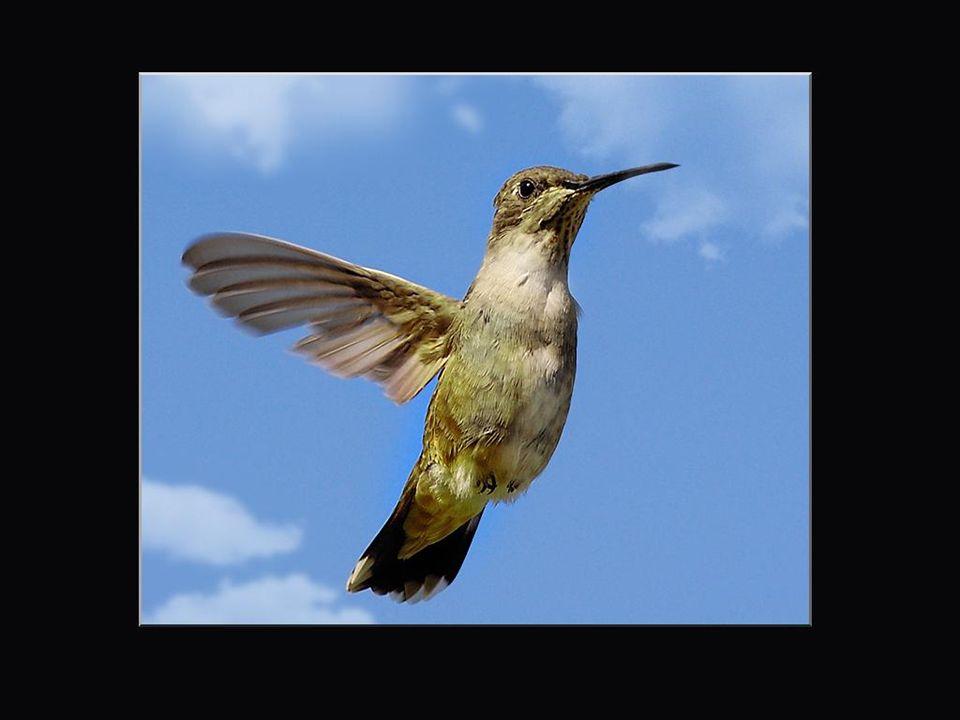 Il arrive parfois que les colibris volent à... reculons! Ce mode de vol, s'il est rare, n'est pas unique chez ces oiseaux. On le retrouve parfois chez