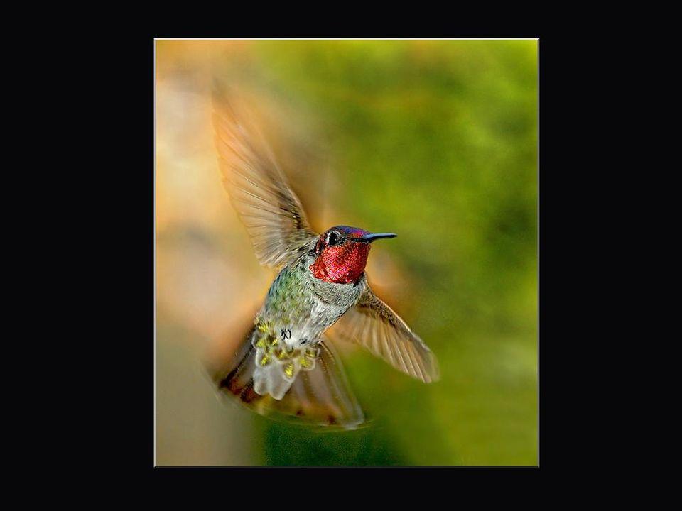 La plupart des colibris n'émettent aucun son... ou presque. Comme on dit: beau plumage sans ramage! Certaines espèces ont de petits cris très aigus qu
