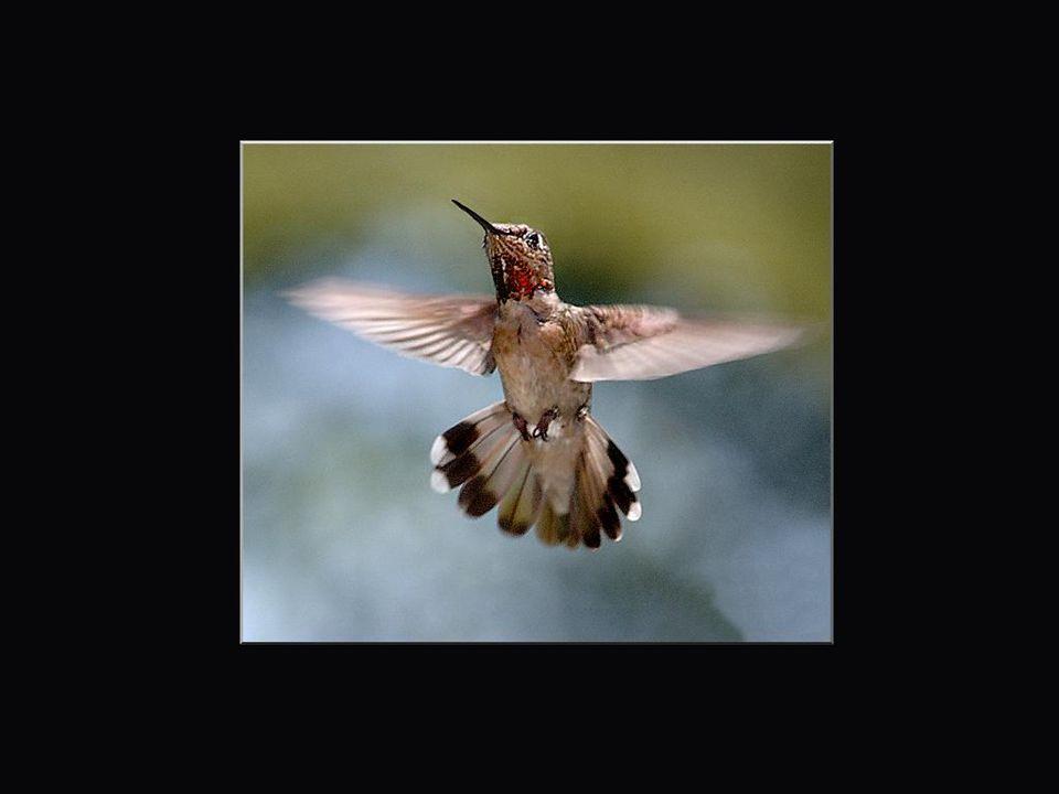 A Jacky qui a défaut de pouvoir observer des colibris dans son Béarn et dans les Pyrénées pourra se consoler en admirant ceux-ci, même s'ils ne sont q