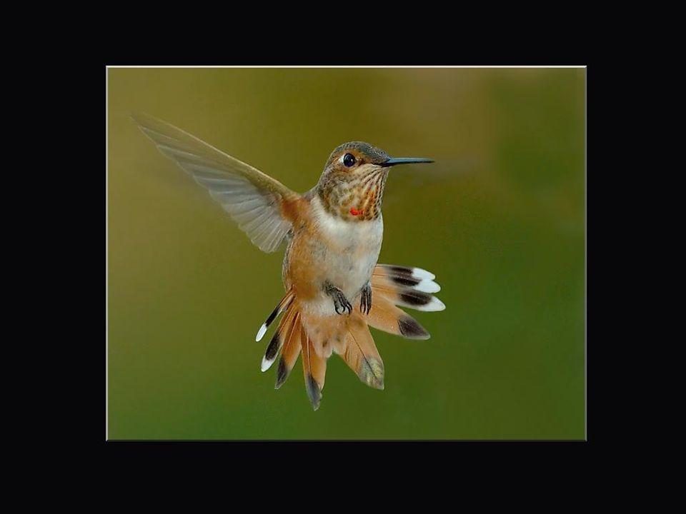 Le nom du colibri vient des indiens Taïnos, premiers habitants de Cuba, et il signifie