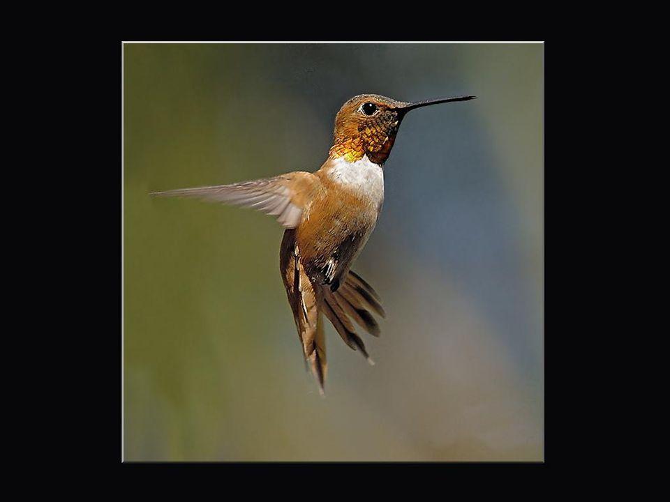 Dans la langue des Taînos, le colibri-abeille, de la grosseur d'un bourdon, se dit