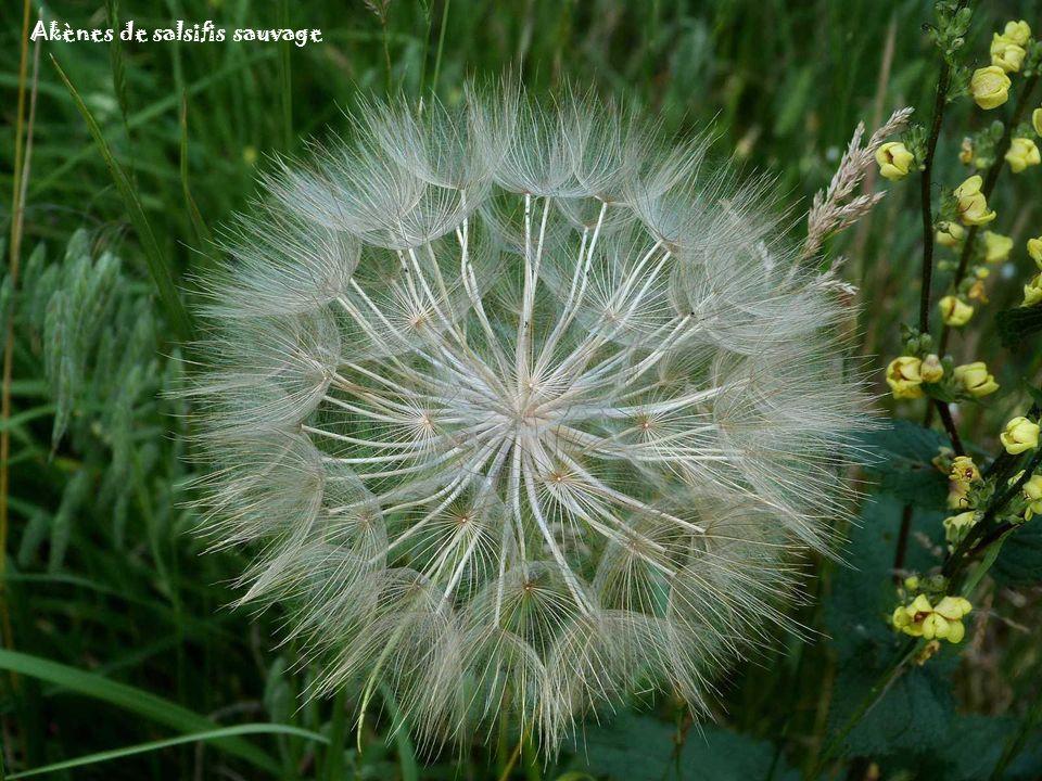Fleur de salsifis sauvage