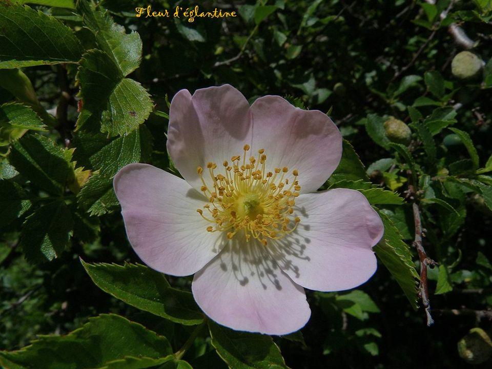 Fleur déglantine