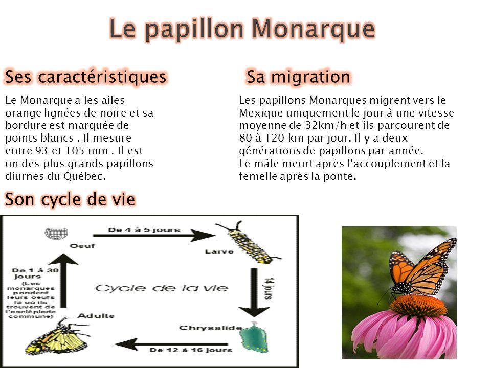 Le Monarque a les ailes orange lignées de noire et sa bordure est marquée de points blancs.