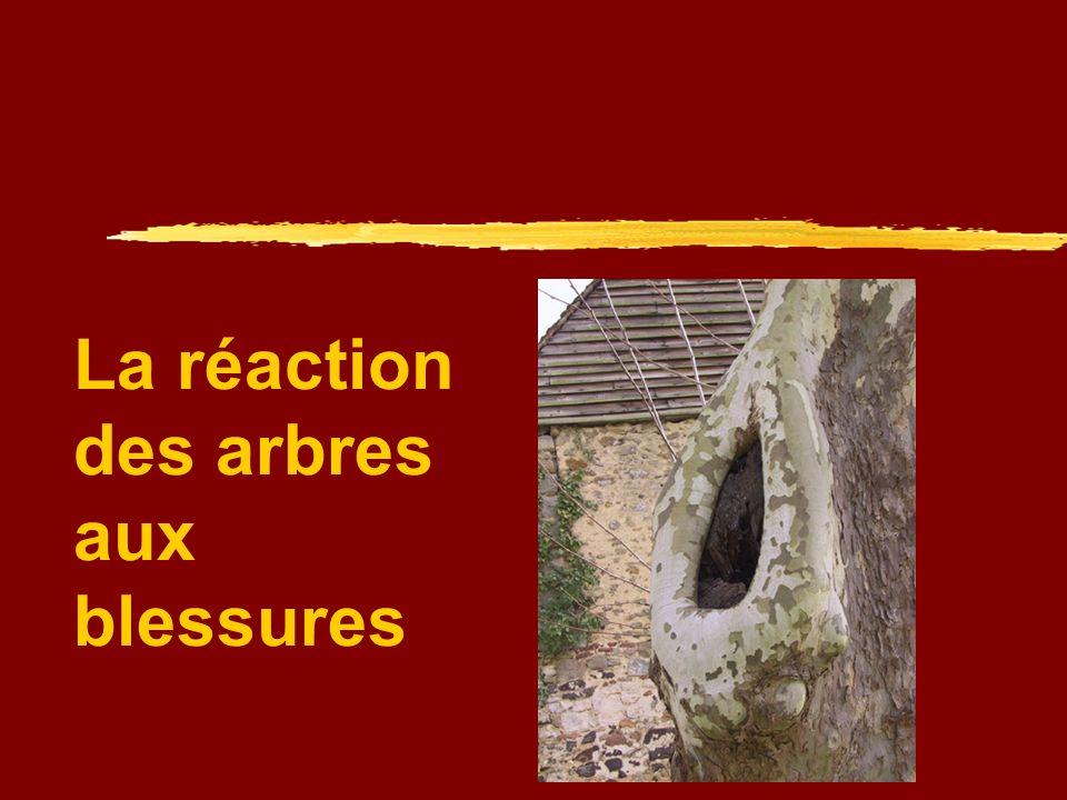 Production de substances antiseptiques Larbre produit dans laubier, au niveau de la plaie des substances antiseptiques inhibant laction des champignons (tannins, lignine, subérine, silice et résine chez les conifères)