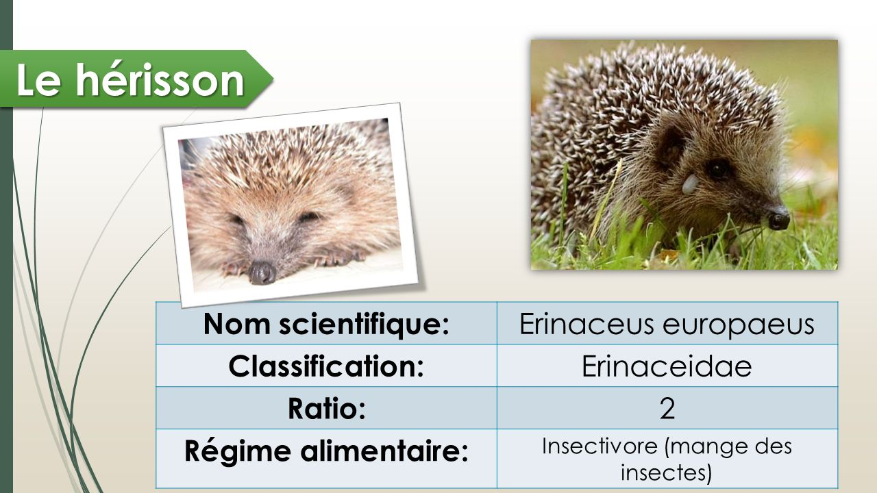 Le hérisson Nom scientifique: Erinaceus europaeus Classification: Erinaceidae Ratio: 2 Régime alimentaire: Insectivore (mange des insectes)