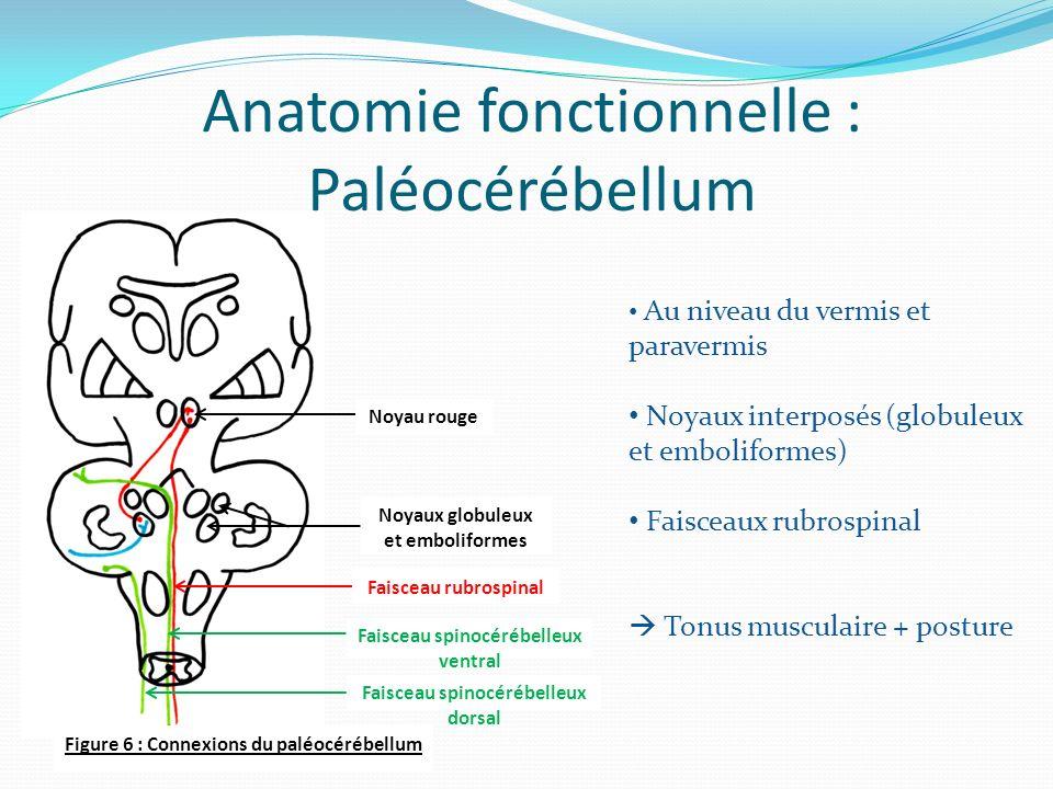 Figure 6 : Connexions du paléocérébellum Noyau rouge Noyaux globuleux et emboliformes Faisceau rubrospinal Faisceau spinocérébelleux ventral Faisceau spinocérébelleux dorsal Anatomie fonctionnelle : Paléocérébellum Au niveau du vermis et paravermis Noyaux interposés (globuleux et emboliformes) Faisceaux rubrospinal Tonus musculaire + posture