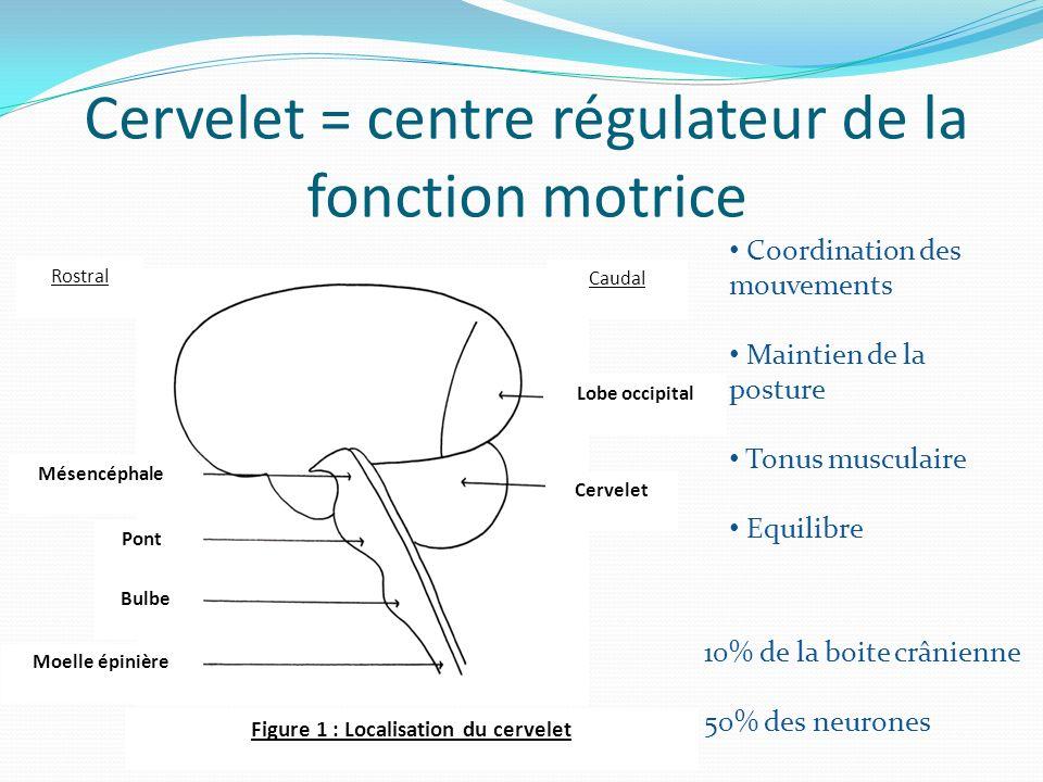 Cervelet = centre régulateur de la fonction motrice Coordination des mouvements Maintien de la posture Tonus musculaire Equilibre 10% de la boite crânienne 50% des neurones Lobe occipital Cervelet Mésencéphale Pont Bulbe Moelle épinière Figure 1 : Localisation du cervelet Rostral Caudal