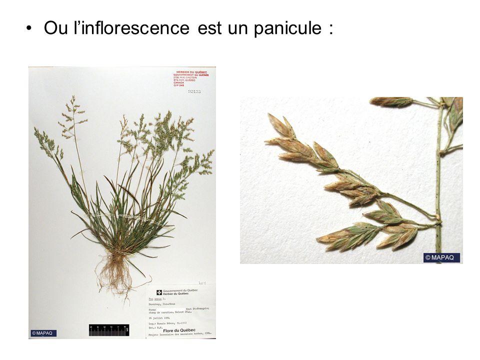 Ou linflorescence est un panicule :