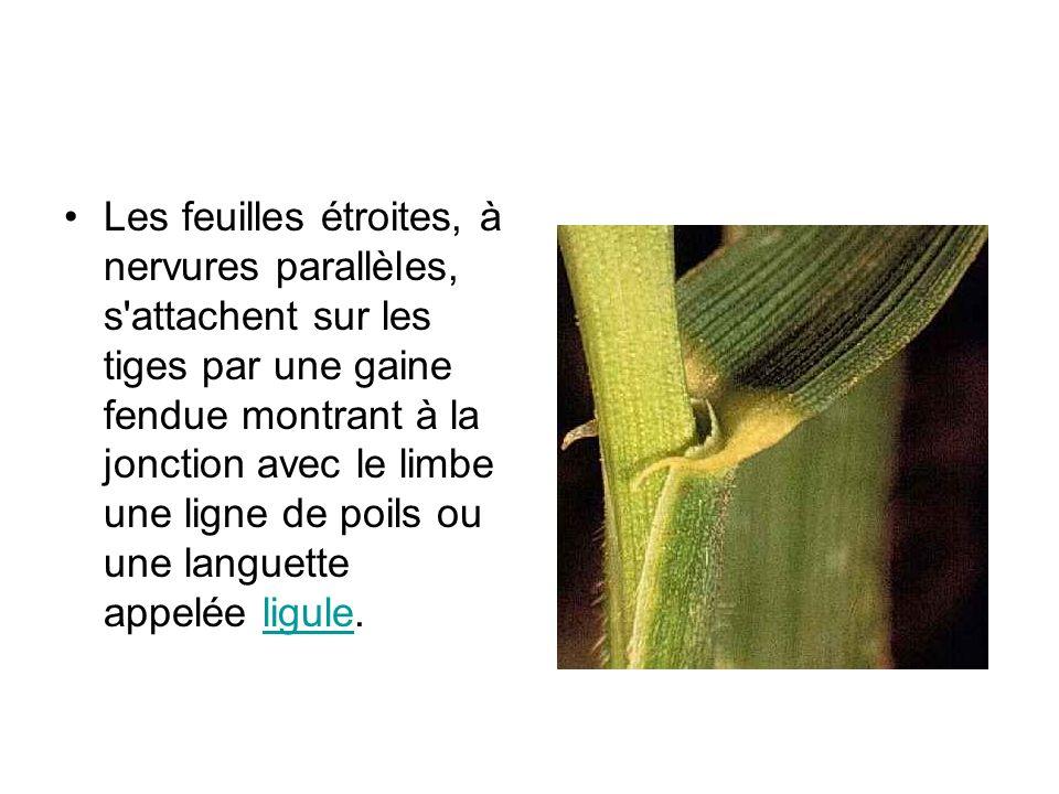 Les feuilles étroites, à nervures parallèles, s'attachent sur les tiges par une gaine fendue montrant à la jonction avec le limbe une ligne de poils o