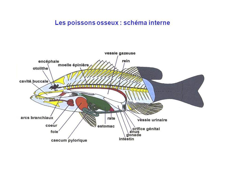 Les poissons osseux : schéma interne