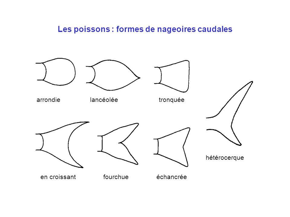 Les poissons : formes de nageoires caudales arrondie hétérocerque échancréefourchueen croissant tronquéelancéolée